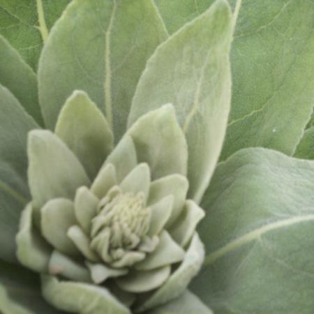 Verbascum thapsus...