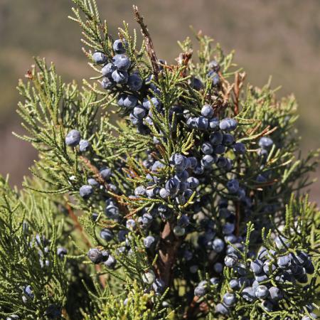 Juniperus...