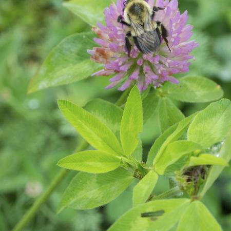 Trifolium...