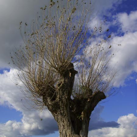 Salix alba L....