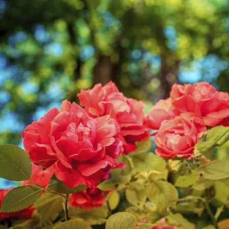 Rosa damascena...