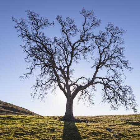 Quercus alba L....