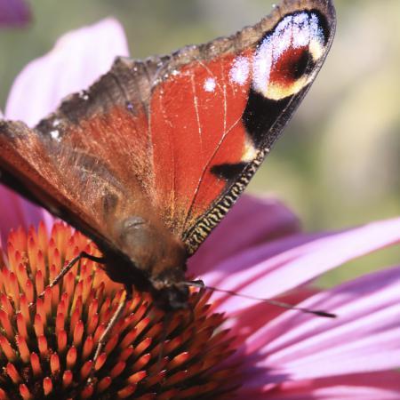 Echinacea...