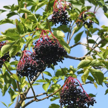Sambucus nigra L....