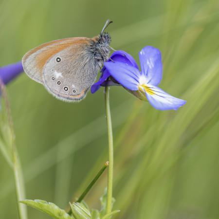 Viola tricolor L....