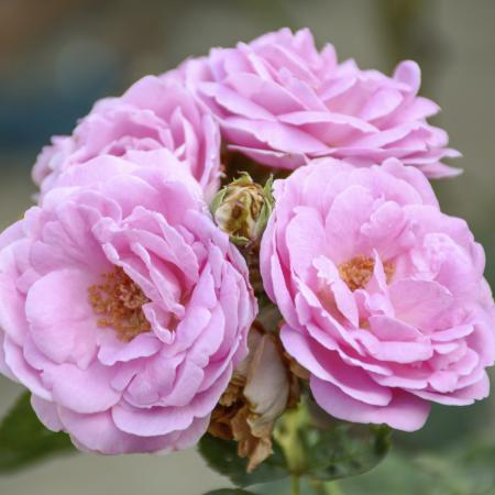 Rosa damascena...