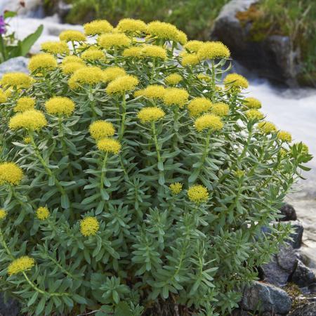Rhodiola rosea L....