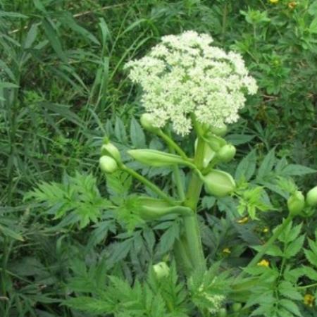 Angelica sinensis...