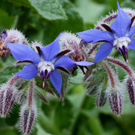 Borage Cream 500g