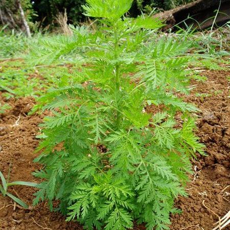 Artemisia annua...