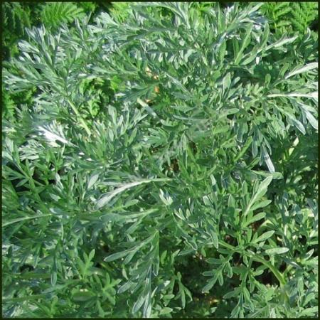 Artemisia...