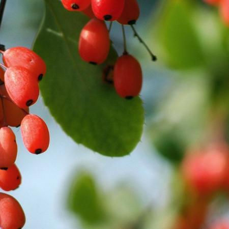 Berberis vulgaris...
