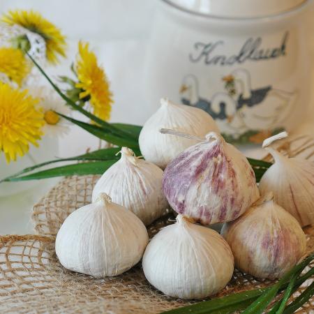 Allium sativum L....