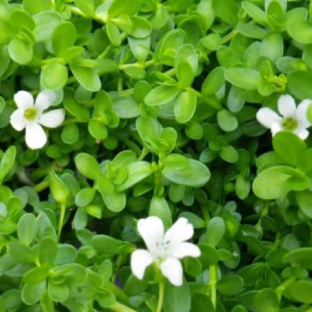 Bacopa moniera L....