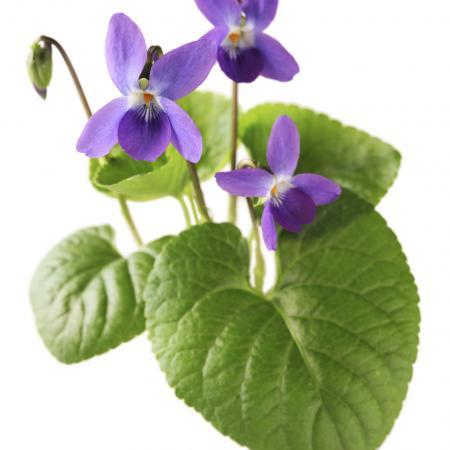 Viola odorata L....