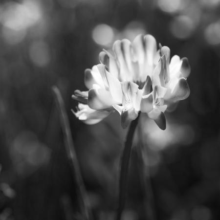 Astragalus...