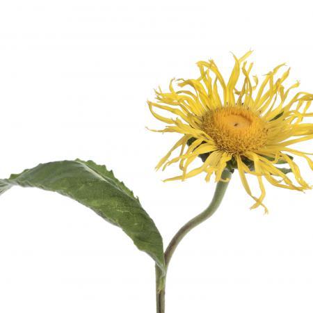 Inula helenium L...