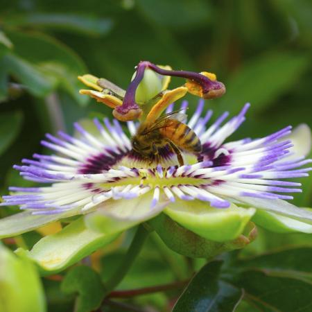 Passiflora...